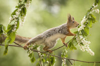 red squirrel is standing on an flower branch