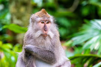 Macaque monkey at Ubud Monkey Forest in Bali