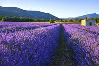 Sanft beleuchtetes Lavendelfeld mit Hütte