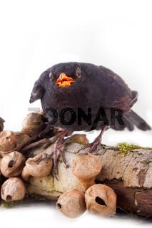 terrible black bird sits on rotten stump with mushrooms toadstools