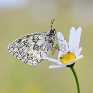 Schmetterling auf einer Margerite... Schachbrettfalter * Melanargia galathea *