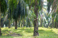 Palm oil plantation at Asia.
