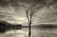 Large leafless tree in lake with birds nest