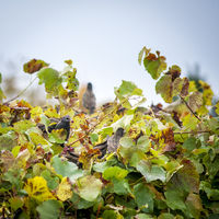 Starlings in a vineyard eating grapes