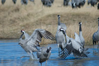 Common cranes (Grus grus) fighting in a lagoon. Gallocanta Lagoon Natural Reserve. Aragon. Spain.