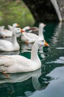 White ducks swimming in the lake