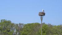 White stork high up on nesting pole above trees