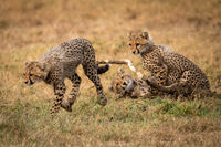 Cheetah cub runs away from two others