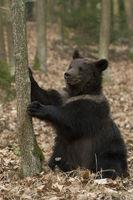 uuups... Europäischer Braunbär * Ursus arctos *