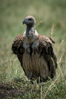 African white-backed vulture stands on grassy mound