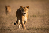 Lioness walks in grass with another behind