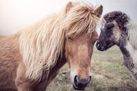 Faroese Horses in the sun