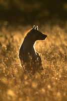 Backlit spotted hyena sits in long grass