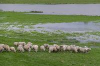 Schafe an der Ems bei Weener