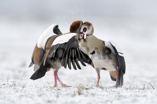Streithähne... Nilgans * Alopochen aegyptiacus *, Auseinandersetzung zwischen Nilgänsen im Schnee