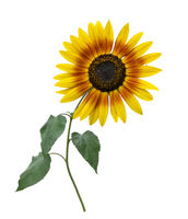 Decorative sunflower in bloom on white background