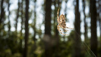 Cross spider in er web in the forrest