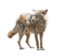Young coyote on white background