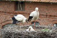 Weißstorch mit Jungvögeln im Nest