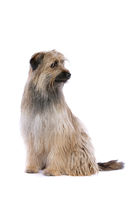 brown Pyrenean Shepherd dog