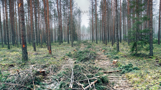 Damage to forest during work on cutting timber.