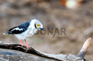 Weißschopf-Brillenwürger, Majete Nationalpark, Malawi, (Prionops plumatus)  |  white-crested helmetshrike, Majete National Park, Malawi, (Prionops plumatus)