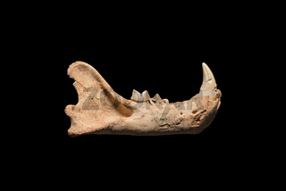 Prehistoric fossil, Lion mandible on black isolated background, 500.000 years old fossil.