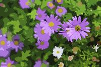 Lila Gänseblümchen