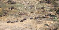 Elephants and giraffes in the Okavango delta (Botswana)