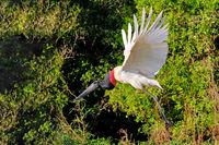 Jabiru Stork, Jabiru Mycteria, Cuiaba River, Porto Jofre, Pantanal Matogrossense, Mato Grosso do Sul, Brazil