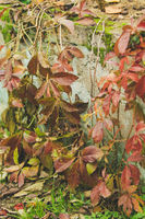 detail of autumn leaves growing over a wall
