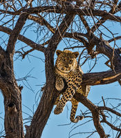 Well fed leopard resting on a tree