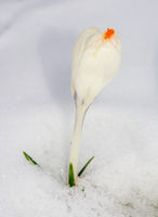 White crocus flower in the snow