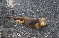 Drusenkopf (Conolophus subcristatus), Insel Santa Cruz, Galapagos Inseln, Ecuador