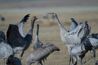 Juvenile common cranes (Grus grus) fighting. Gallocanta Lagoon Natural Reserve. Aragon. Spain.