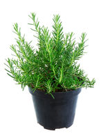 Isolated potted rosemary herbs