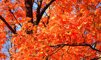 autumn natural background red trees outdoor