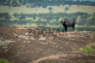 Cape buffalo standing on rock on horizon