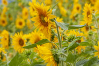 Sonnenblumen (Helianthus annuus), Sonnenblumenfeld