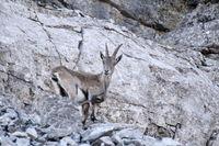 neugieriger Steinbock steht an der Felswand