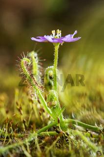 Drossera Indica flower, Flycatcher is an insectivorous plant, Kas Pathar, Satara, Maharashtra, India.
