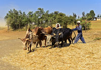 Traditionelles Dreschen von Teff Getreide (Eragrostis tef) durch Ausreiten mit Zebu-Rindern
