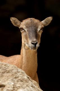 Mufflon (Ovis ammon musimon)