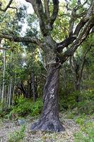 Teilweise geschälte Korkeiche (Quercus suber) mit Jahresangabe der letzten Schälung