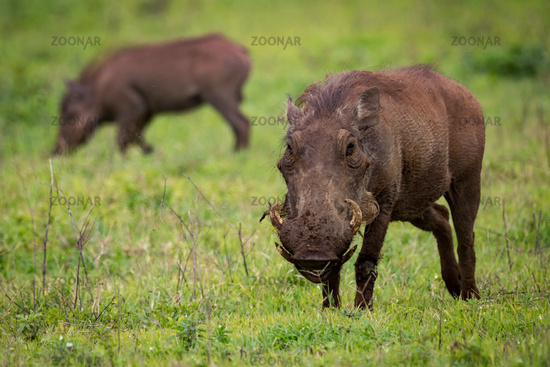 Warthog facing camera with another eating behind