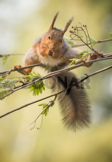 red squirrel in a split on rowan berry branches