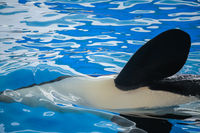 Close up of a flipper of an orca
