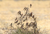 Swarm of Red Headed Finches in a Kalahari thorn tree
