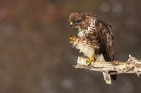 Common buzzard scratching and cleaning feathers while sitting on a bough