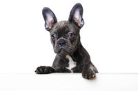 French bulldog puppy looking over a wall